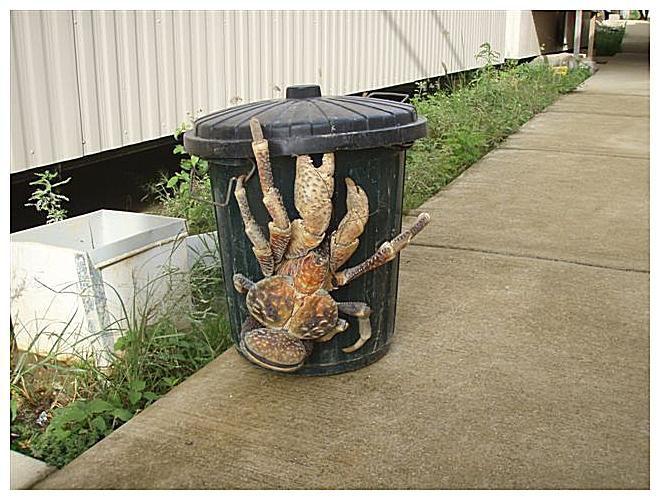http://uploads.bmxmuseum.com/user-images/74614/giant-coconut-crab-57bbf0cc3df78c87639286735e2b82081c.jpg
